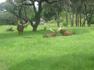 Ankole Longhorns and another Safari vehicle